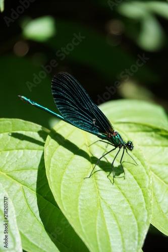 Foto Murales Blauflügel-Prachtlibelle, Calopteryx Viro, Insekten, Natur, blau, Bionic, Bionics, Bionik, Libelle, Makro