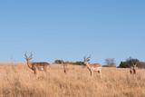 Antelope feeding - 218217767