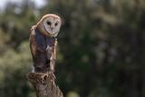 Barn Owl on Tree - 218240341