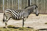 Zebra schlafend