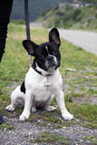 Expressive puppy of a French bulldog on a leash for a walk outdoors