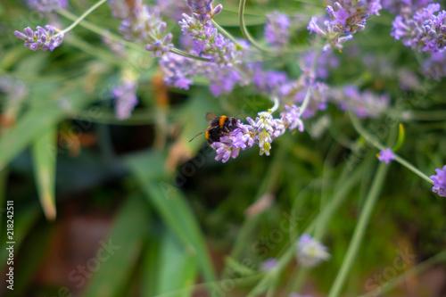 Foto Spatwand Lavendel Bumble Bee on Lavender