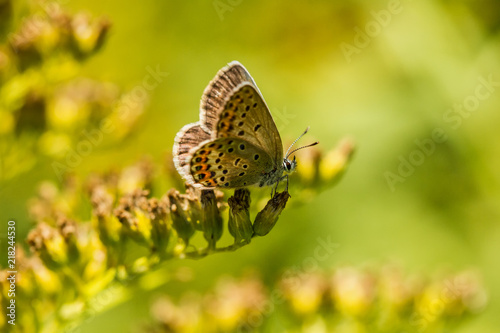 Canvas Vlinder Bläuling