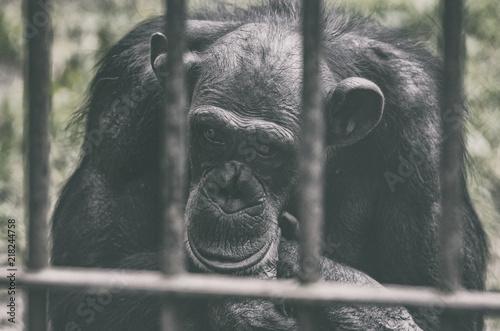 Foto Spatwand Aap Smutna czarna gorylica w niewoli.