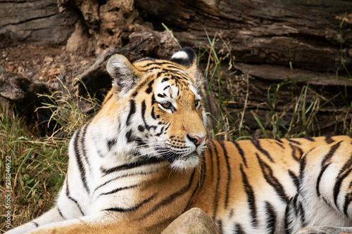 Canvas Tijger Zoo