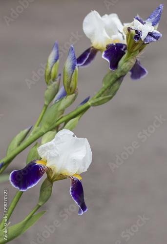 Aluminium Iris White-violet iris flower. Shallow DOF. Defocused light background.