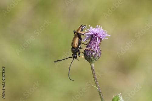 Foto Murales Käfer auf Blüte 2