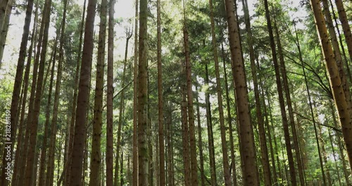 Sunny conifer trees landscape. Tilt motion effect used.