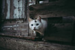 Leinwanddruck Bild - Cute white cat looking out of a hole in a wooden fence
