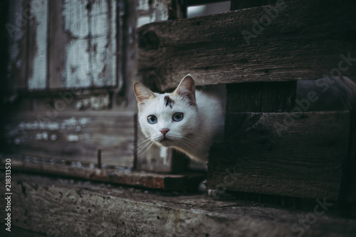 Leinwanddruck Bild Cute white cat looking out of a hole in a wooden fence