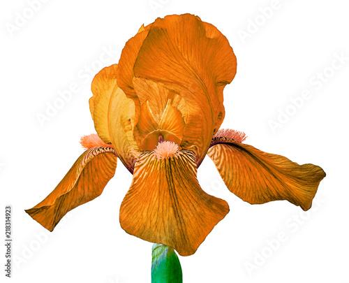 Aluminium Iris orange iris flower isolated on a white background. Close-up. Flower bud on a green stem.