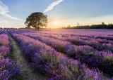 Golden Hour Lavender - 218353351