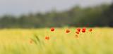 Mohn Blüte in Getreidefeld