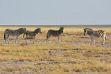 Zebras (equus quagga) im Etosha Nationalpark (Namibia)