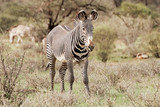 Grevy's Zebra standing on a grass at Lake Nakuru National Park, Kenya