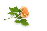 Rose liegt auf weißem Hintergrund - 218391352
