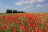 schönes Mohn Feld, Konzept Sommer Blumen Wiese