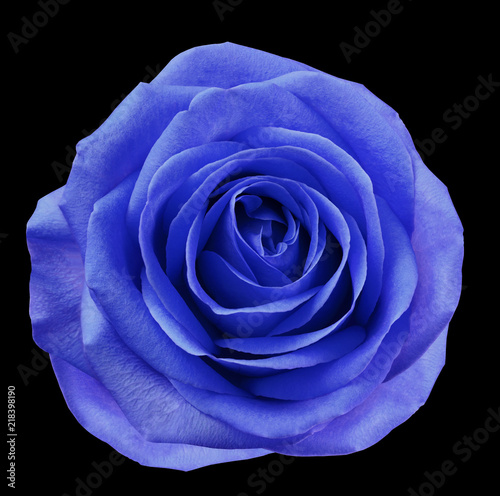 Canvas Donkerblauw Blue-violet flower rose on black isolated background with clipping path. no shadows. Closeup. For design. Nature.