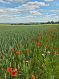 Weizenfeld mit Ackerrandstreifen aus Klatschmohn - 218412117