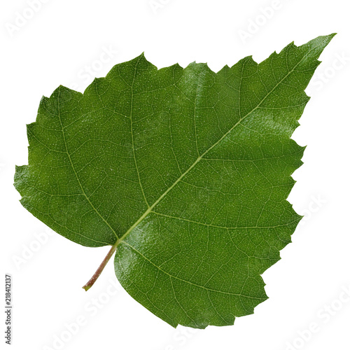 Birch leaf isolated on white background. - 218412137