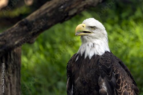 Canvas Eagle Bald eagle portrait