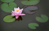 rosa Seerose - 218450924