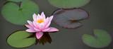 rosa Seerose Banner