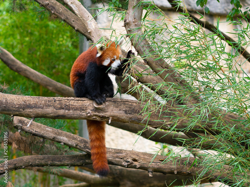 Canvas Panda Red panda Ailurus fulgens or lesser panda eating bamboo leaves