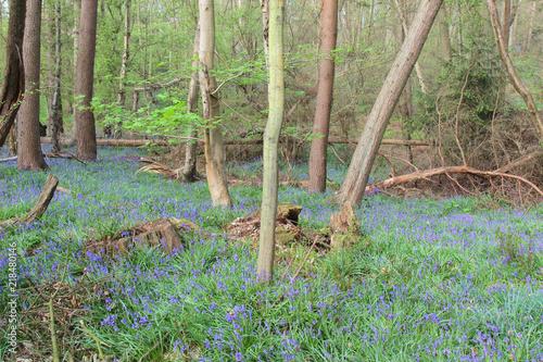 Aluminium Olijf Landscape of bluebells in the woods in Crowthorne, Berkshire, UK