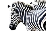 portrait zebra isolated  on white background