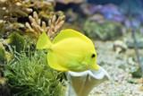 Goldfish zebrasoma flavescens in zoo on aquarium bottom