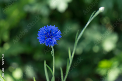 Leinwanddruck Bild blue cornflower in the meadow, close up photo