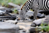 Zebra drinking, Masai Mara, Kenya