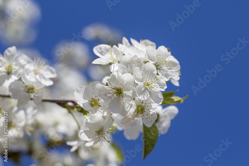 White Flowers Of The Cherry Blossoms On A Spring Day Over Blue Sky