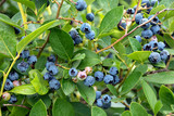 close up of blueberry crop on bush - 218516392