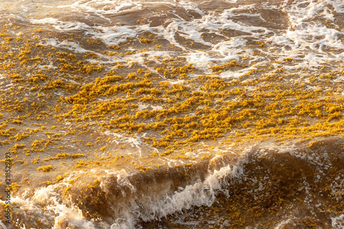 Sargassum seaweed patch floating on the water in Tulum, Mexico