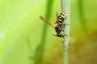 Leinwandbild Motiv Wasp drinks water - insects on blade of grass
