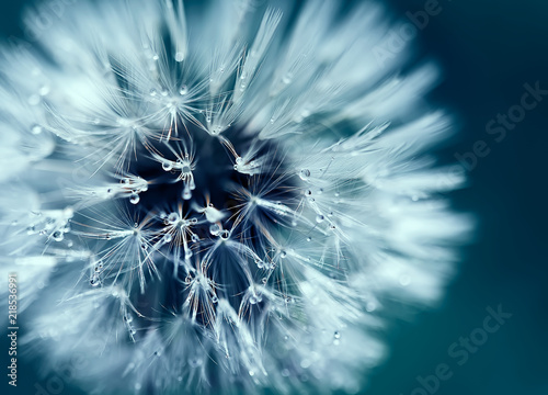 Macro shot of dandelion with water drops © Alexey Usachev