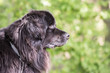 Portrait of newfoundland dog living in belgium