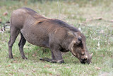 Warthog - 218549598