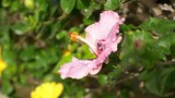 Pink hibiscus flower in bloom in 4k slow motion 60fps - 218553975