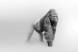 Gorilla africa wildlife animal art collection grayscale white edition - 218593381