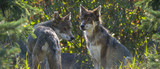 wolfs - Canis lupus hiden in the forest - close up