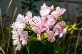 Japanische Blütenkirsche - 218599757