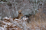 White-tailed deer buck walking through a snowy meadow during the autumn rut in Canada