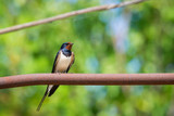 Barn swallow or Hirundo rustica or swift, lovely black bird with green face perching on metal pipe over green blur background. - 218621189