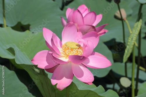 Large lotus flower close up buy photos ap images detailview large lotus flower close up mightylinksfo