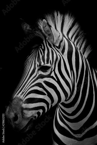 Zebra on dark background. Black and white image - 218632151