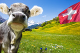 Kuh in der Schweiz - 218639108
