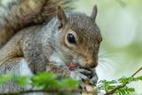 squirrel - 218642300